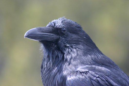 raven-1565293